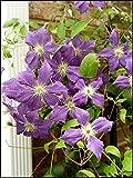Bulbos de Clemátide,Mundialmente Famoso,Exquisitas Flores Cortadas,Vale La Pena Plantar,Especies Raras-5 Bulbos