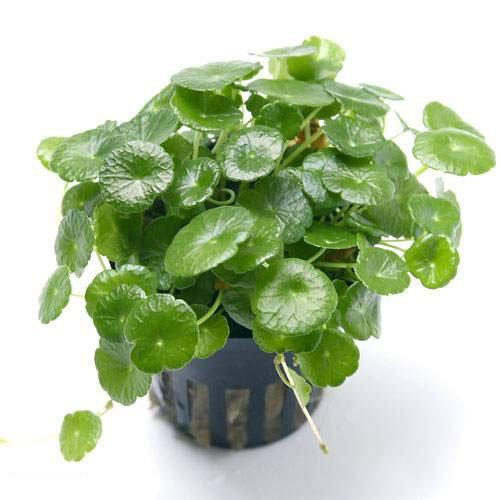 (水草)ミニマッシュルーム(トロピカポット)(無農薬)(1ポット分) 本州・四国限定[生体]