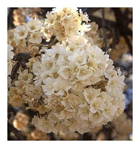 Dombeya rotundifolia - Poire sauvage - 10 graines
