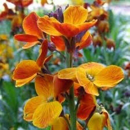 English WallFlower Seeds