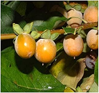 4 Packs x 20 Date Plum Persimmon, Diospyros lotus, Tree Seeds - Fragrant Flowers - Very COLD HARDY - ZONES 6-10 - By MySeeds.Co