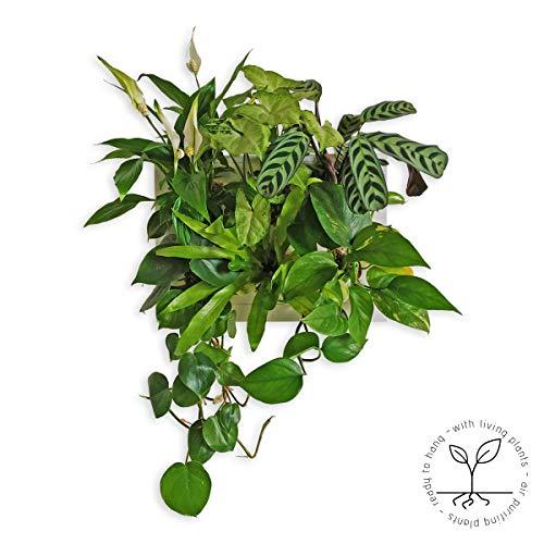 Ortisgreen plantenschilderij, klaar om op te hangen met 6 kamerplanten, samenstelling hop met planten die de lucht reinigen: spathiphyllum, syngonium, calathea, filodendro, aperenium, pothos.