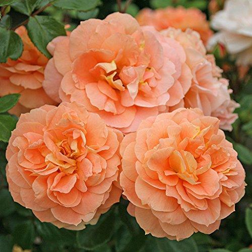 Kordes Rosen Schöne vom See Beetrose, aprikot/orange, 12 x 12 x 40 cm