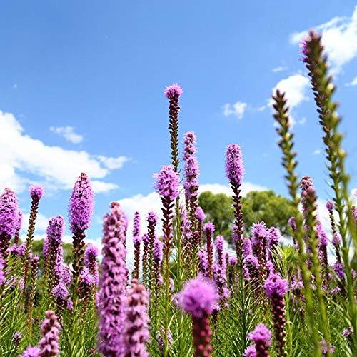 XINDUO Frühling Blumen mehrjährig winterhart,Snakeweed Gartenblume Pflanzensamen-0,5 kg,Lange Blütezeit winterhart
