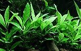 Tropica Aquarium Pflanze Hygrophila Siamensis 53B Wasserpflanzen Nr.053B