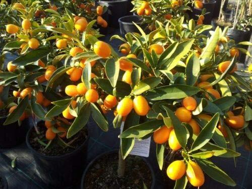 Kumquat'Citrus japonica''Mandarino cinese' pianta in vaso