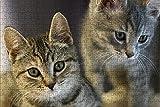 LHJOY Rompecabezas Puzzle 1000 Piezas Gatito Gato Dos Animales Mirada Regalo de cumpleaños 75x50cm