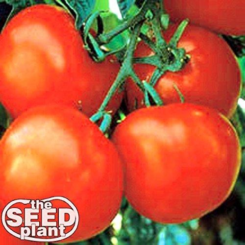 Marglobe Tomato Seeds - 250 Seeds Non-GMO