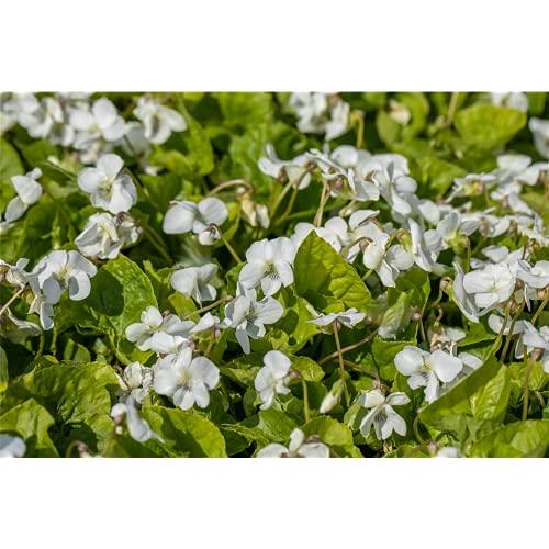Viola sororia 'Albiflora' - Weißes Pfingst-Veilchen 'Albiflora' - 9cm Topf