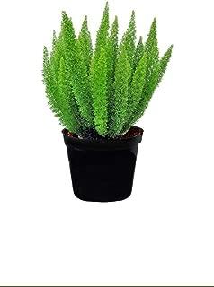Best asparagus fern price Reviews