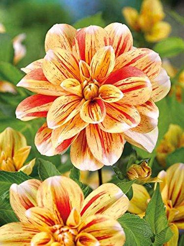 Lemo Gartendesign Anemonenblütige Dahlie `Striped Nagano` (Dahlia decorative `Striped Nagano`, 1 Stück)