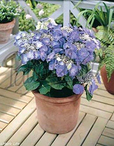 verschiedene Hortensien - Hydrangea (blau macrophylla Teller)