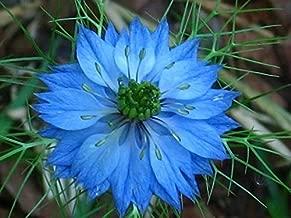 500 Blue Love in a Mist Miss Jekyll Nigella Damascena Flower Seeds #SFB