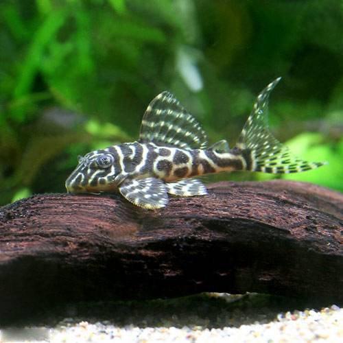 (熱帯魚)ゴールデンキングロイヤル・ペコルティア Sサイズ(ブリード)(1匹) 本州・四国限定[生体]