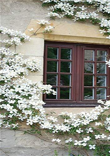 Green Seeds Co. 100 Clematis Pflanzen für Zuhause & amp; Garden Pink Rebe Blumen Pflanze Bonsai Kletterpflanzen Twining Plant Sca Seltene Blume Plan: Gelb
