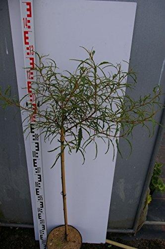 Rhamnus frangula asplenifolia - Farnblättriger Faulbaum