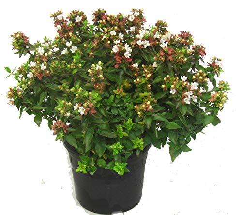 Abelia grandiflora 'Land Ladies`' Abelie - winterharter, wintergrüner, blühender Strauch 26 cm Topf Kübelpflanze - Beetpflanze