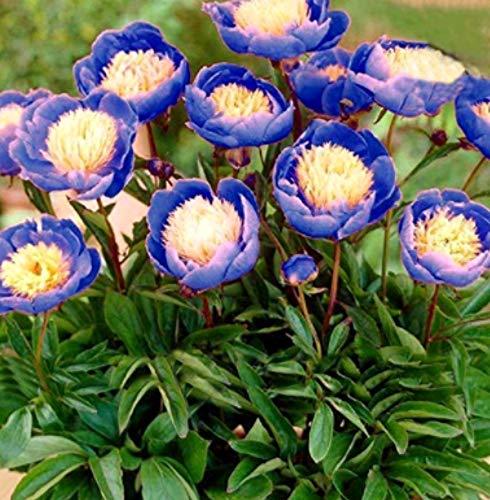 Gartensamen SummerRio- Selten Blau Päonie Duft Pfingstrosen Blumensamen stark duftend Blumen mehrjährig winterhart Duftet Blumen Saatgut bienenfreundliche für Garten Balkon (10pcs)