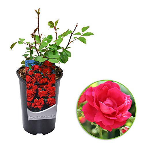 Rosa'Paul's Scarlet'   Climbing Rose   Red Rose   Scented   Height 40 cm   Ø-17 cm