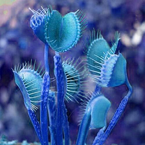 Keptei Samenhaus- 20/50 Korn Selten Blaue Venusfliegenfalle Samen Dionaea muscipula Fleischfressenden Pflanzen Flytrap Seeds mehrjaehrig