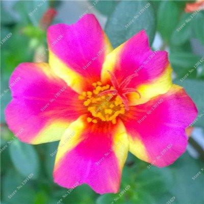 Graine coloré Portulaca, rose moussue Graine pourpier Double Flower Heat Tolerant, facile Semer des graines de fleurs en plein air 100 pcs / lot 2