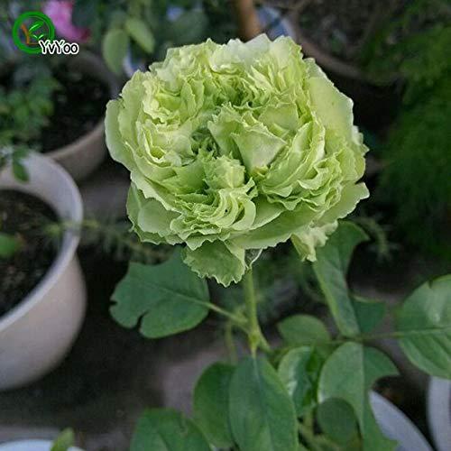 Beautifying Carnation Seeds Perennial Flower Seeds For Home Garden In Bonsai 50 Pcs N011