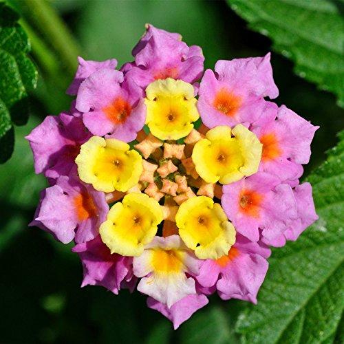 Nouvel arrivage !!! 100 pcs/lot Lantana camara graines de fleurs, Rare vivace herbes magnifique Bonsaï plante pour jardin en pot 2 graines