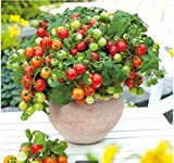 Tomasa Samenhaus- 50 Bio Zwerg-Tomate 'Primabell®'Balkongemüse Saatgut Tomaten winterhart mehrjährig