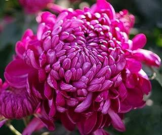 Mr.seeds 100 pcs/bag Rare Hot Rose Pink Chrysanthemum Seeds Chrysanthemum Morifolium Seeds Flower Potted Plant for DIY Home Garden