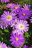 Anemone Charmer - 8 Blumenzwiebeln
