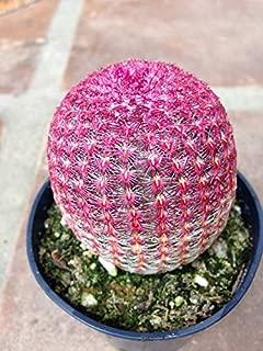 Cactus Plant - Medium Rainbow Hedgehog Cactus