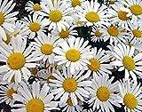Magerwiesen-Margerite - Wilde Margerite - Chrysanthemum leucanthemum - Blume - 10000 Samen