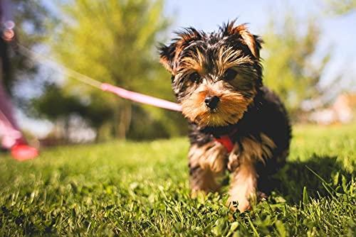 Kit di pittura a olio fai da te per numero di simpatici Yorkshire Terrier Pet Dog Animal Pittura Acrilica Kit Per Adulti Principiante 40*50 Cm