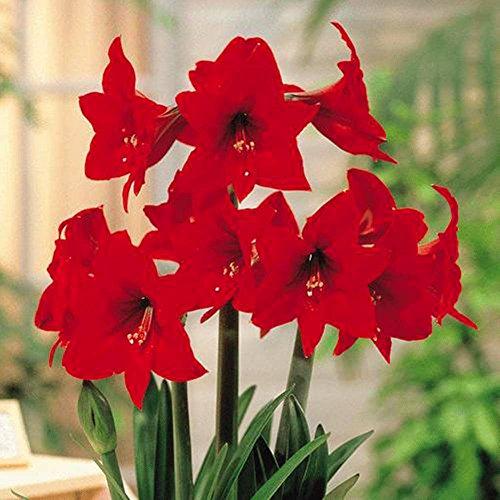Blumenzwiebel Hippeastrum Amaryllis Rapido