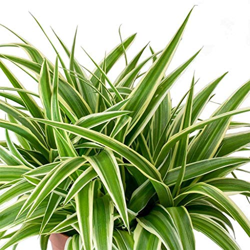 Best air purifying plants -Spider Plant