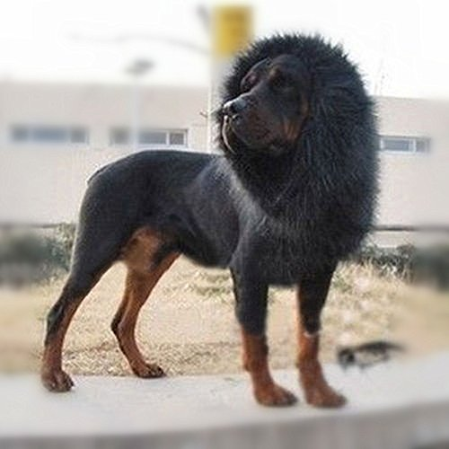 Lion Mane For Dog Pet Costume - FMJI Dog Clothes Lion Wig Without Ears For Halloween Festival Party  (Black)