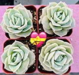 """Succulent Plants, 4PCS Echeveria 'Lovely Rose' Fully Rooted in 2"""" Planter, Rose Succulents Flower, The Mothers Day Gift"""