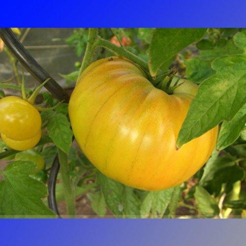 (jaune * Ambizu *) 'Gold tante Gertie' organique jaune beefsteak Tomate Heirloom Seeds, Paquet professionnel, 100 graines