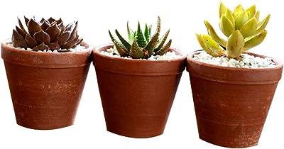 Mudfingers Succulent Triplets terracotta, Indoor Plant- Multi Colour Design,3 Inches (Pack of 1)
