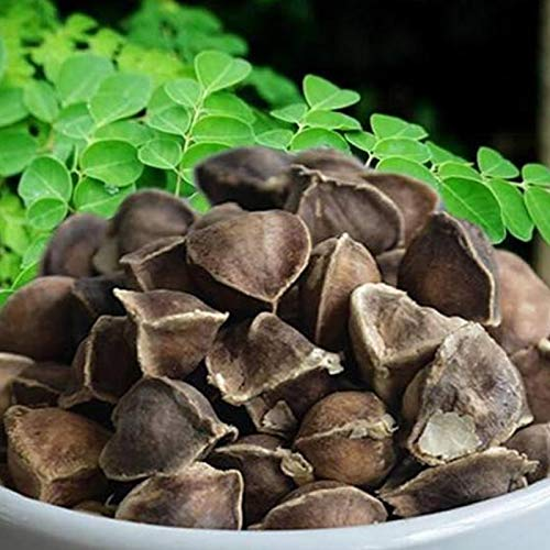 Semillas de Moringa, 50 piezas / bolsa Semillas de Moringa Fragancia intensa de Moringa Semillas de Moringa de jardín saludable sin OMG para jardín
