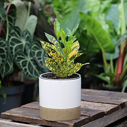 Roślina domowa - Croton Pictum - 9 cm doniczka