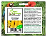 Pezzi - 4x Zucchina Soleil F1 (Cucurbita Spaghetti Squash) - Zucchina Seme Verdure Giardino KS373 - Seeds Plants Shop Samenbank Pfullingen Patrik Ipsa