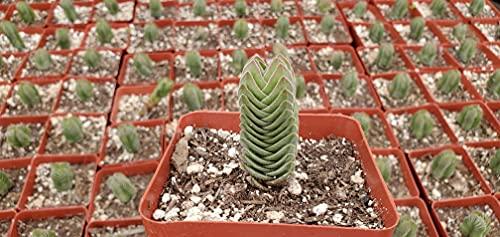 Rare Crassula 'Buddha's Temple', Succulent-Live Plant by 3exoticgreen (4' Pot)