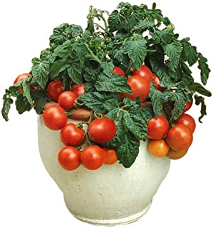Best sweet 100 tomato plant height Reviews