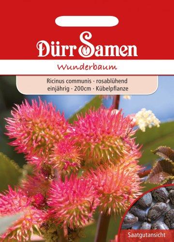 Dürr-Samen Wunderbaum, rosa