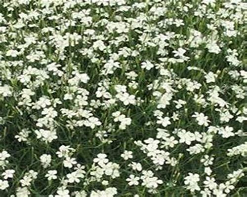 Dianthus Deltoides 50 Stück White Bodendecker Heide-Nelke winterhart T9x9