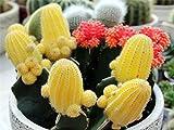 Mezcla de semillas de cactus Echinopsis, semillas de...