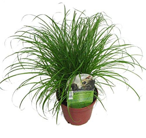 unsere-gaertnerei-mueller Zumula' (Cyperus alternifolius - Vert Vieilli (1)