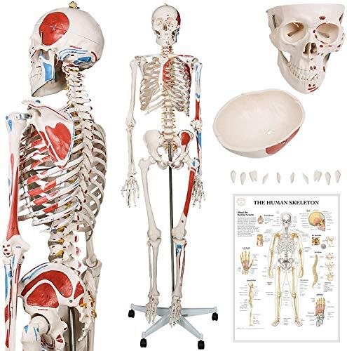 180 Cm Human Anatomy Skeleton, Esqueleto Clásico Con Detalles De Pintura Muscular, Incluye Cubierta Protectora, Con Soporte, Base Y Enseñanza Modelo De Aprendizaje De Carteles Gráficos