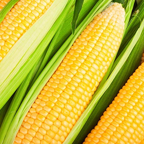 100PCS Fruit Corn Seeds Child Like Popularity High Variety Convenience Easy Care Suitable Private Courtyard Planting Different Landscape